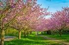 Sững sờ vườn đào đẹp nhất châu Âu