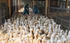 Quảng Nam khẩn trương ứng phó dịch cúm A/H5N6
