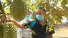 Nhà vườn lo lắng khi trái cây vào vụ đúng đợt dịch Covid-19