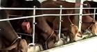 Triệu Phong chủ động phòng chống rét cho gia súc