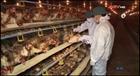 Hà Tĩnh: Xuất hiện ổ dịch cúm gia cầm H5N1