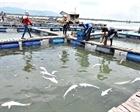 Cá bớp nuôi lồng bè chết hàng loạt ở Quảng Ngãi