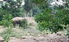 Cảnh đàn voi rừng phá hoa màu của dân