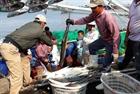 Ngư dân Quảng Trị trúng mẻ cá 150 tấn