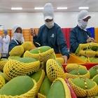 Xuất khẩu rau quả giảm 11,3% so cùng kỳ do Covid-19