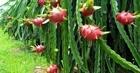 Thanh long rớt giá, nông dân Bình Thuận, Long An lo mất Tết