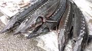 Quảng Ninh bắt vụ vận chuyển cá tầm nhập lậu