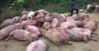 Lợn chết bị vứt bỏ được lấy đi tiêu thụ