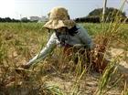 Lận đận nghề trồng tỏi ở Lý Sơn
