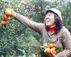 Cam Cao Phong được mùa, giữ giá