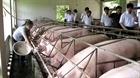 Nan giải ngăn chặn chất cấm trong chăn nuôi