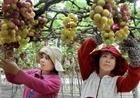 Thời tiết bất thuận khiến nho, táo Ninh Thuận khan hiếm