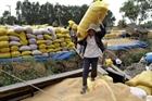 Thủ đoạn lừa đảo qua việc thu mua lúa