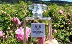 Mùa thu hoạch hoa hồng Centifolia tạo ra nước hoa Chanel No5