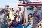 Câu cá ngừ đại dương thắng lớn trong chuyến biển đầu năm
