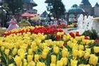 Lễ hội hoa Tulip lớn nhất Việt Nam hút khách du lịch
