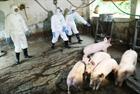Dịch tả lợn châu Phi xuất hiện tại Phú Thọ, Đắk Nông