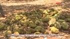 Vườn sầu riêng chuẩn bị cho thu hoạch bị phá hoại
