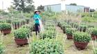 Nhà vườn Đắk Lắk kỳ vọng vụ hoa Tết
