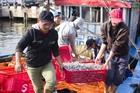 Ngư dân Quảng Bình được mùa cá trích