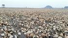 Ngao chết hàng loạt tại bãi nuôi Nghi Lộc