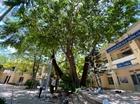 Các trường tại Đà Nẵng làm giá đỡ kiên cố cho cây phượng