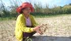 Không khí lạnh kéo dài, nông dân Lý Sơn lo vụ tỏi đông xuân