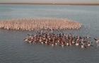 Vũ điệu của đàn hồng hạc mùa di cư