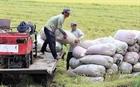 Giá hồ tiêu, lúa gạo tăng mạnh trở lại