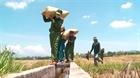 Công an xã xuống đồng thu hoạch lúa giúp dân